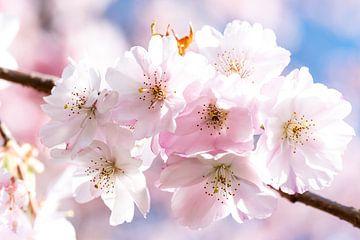 Blütenblätter der Kirsche am Zweig von Dieter Walther