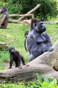 Kleine Gorilla met zijn vader sur Dennis van de Water