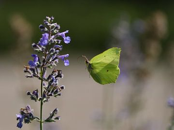 Sonne Schmetterling von A. Bles