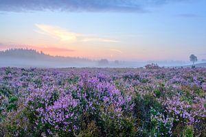 Bloeiende heide planten op de Veluwe tijdens zonsopkomst