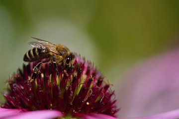 Eine Biene sucht nach Pollen auf einer Blume von Ulrike Leone