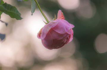 Hängende Bokeh Rose von Tania Perneel