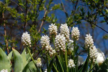 witte druifjes close up met blauwe lucht van