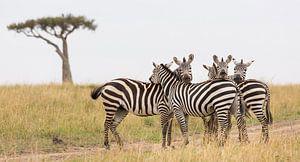 Afrika   Zebra's op de savanne - Afrika Kenia Masai Mara van