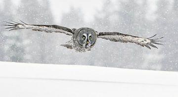 Laplanduil (Strix nebulosa) in vlucht tijdens sneeuwstorm, Finland. van AGAMI Photo Agency