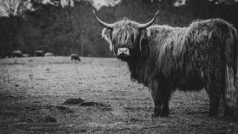 Close-up van een Schotse Hooglander Koe in Nederlandse weide in zwart-wit van Maarten Oerlemans