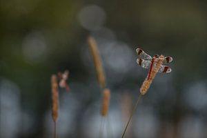 Bandheidelibellen in de vroege ochtend