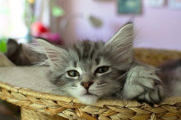 Katzenjunges in Nahaufnahme Porträt Entspannte Waldkatze van