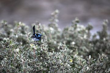 Superb blue fairy-wren van Mark Thurman