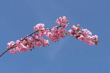 Roze Bloesem von Thomas Duiker