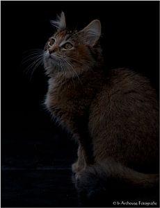 Noorse Boskat kitten