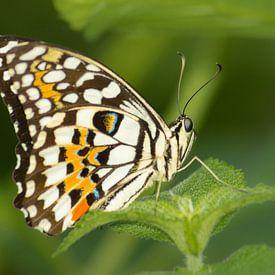 Tropische Vlinder Closeup van Samantha Schoenmakers