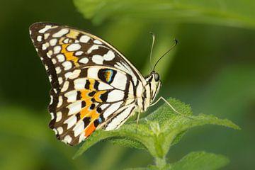 Tropische Vlinder sur Samantha Schoenmakers