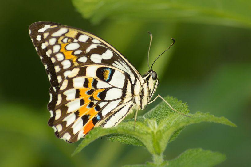 Tropische Vlinder van Samantha Schoenmakers