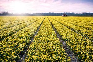 Narcissenveld bij Vogelenzang  deel 2