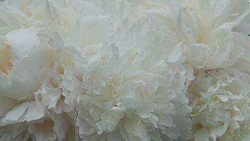 Witte pioenrozen van Bert Bouwmeester