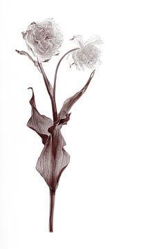 Dubbele tulp gedroogd van Karel Ham
