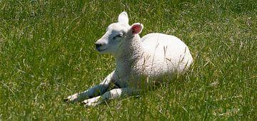 DE - Niedersachsen The resting lamb van Michael Nägele