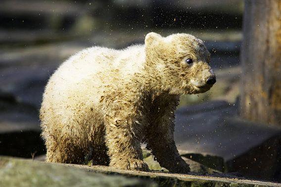 Kleine ijsbeer schudt het vuil uit zijn vacht