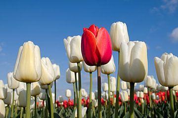 Rode tulp tussen witte tulpen van W J Kok