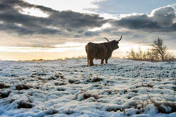 Schotse Hooglander in de sneeuwlandschap van Paula Romein