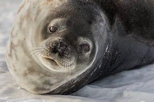 Weddel zeehond - Antarctica