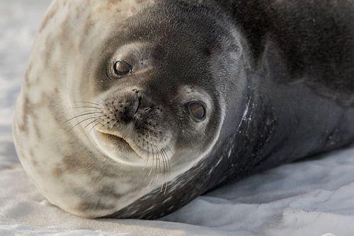 Weddel zeehond - Antarctica van Eefke Smets