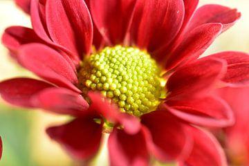 Eine rote Chrysanthemen Blüte von Philipp Klassen