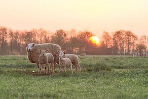 Schapen bij zonsopgang van Rossum-Fotografie
