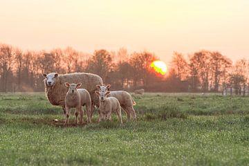 Schapen bij zonsopgang van M Van Rossum