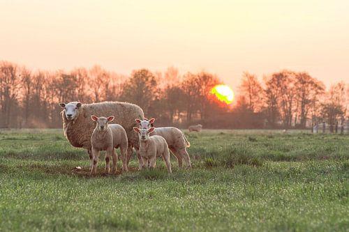 Sheep at Sunrise von M  Van Rossum