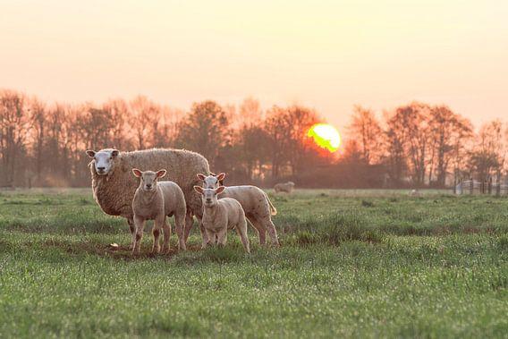 Schapen bij zonsopgang