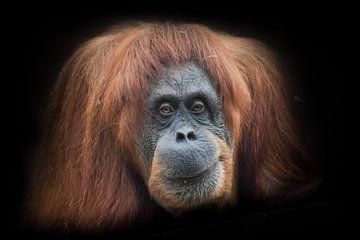 Ironie und Skepsis. Das Gesicht eines intelligenten Orang-Utans von Michael Semenov