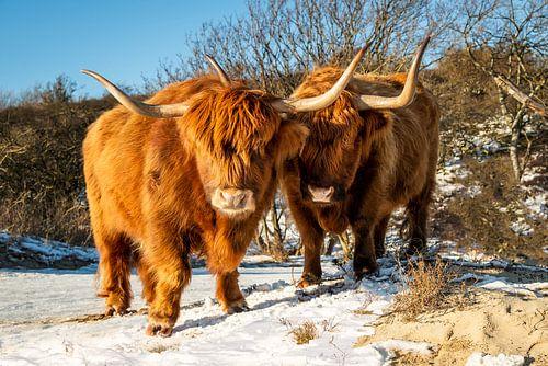Twee Schotse hooglanders kijken nieuwsgierig