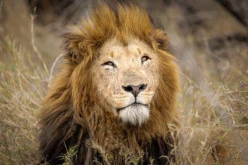 Leeuw (Panthera leo)