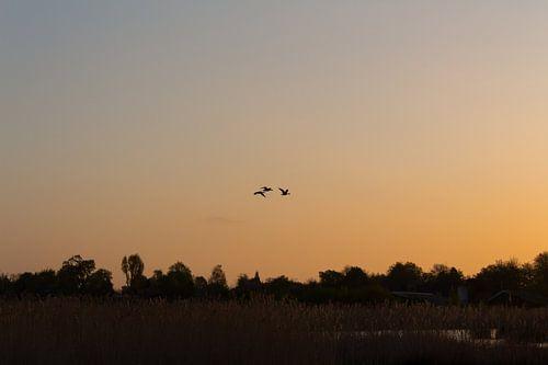 Oranje lucht met ganzen