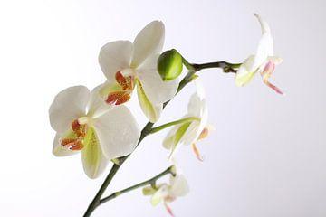 Weiße Orchidee von Karina Baumgart