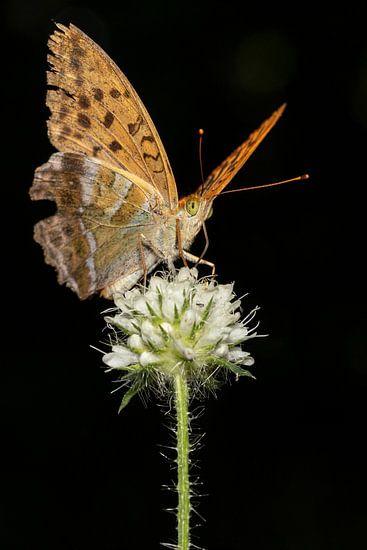 Kaisermantel op bloei in staand formaat