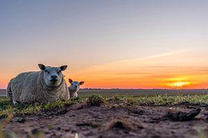Moeder met lammetje Zonsondergang Texel