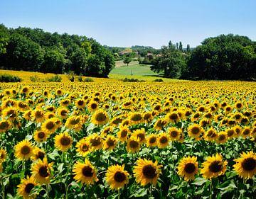 Sonnenblumenfeld in Frankreich von Corinne Welp