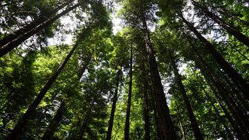 Oben in den Mammutwäldern von Wendy Grace