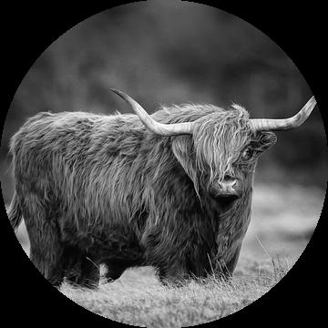 Schotse hooglander in Zwart Wit van Menno Schaefer
