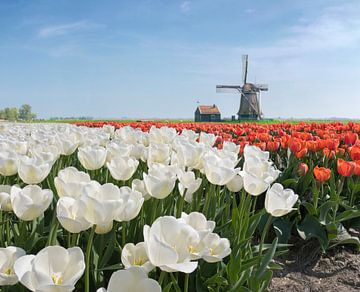 Windmühle mit Zwiebelfeld aus weißen und roten Tulpen, Niederlande, Trick, Montage von Rene van der Meer