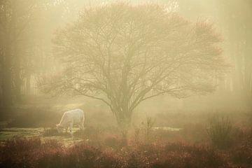 Prachtige Charolais in de mist op de Zuiderheide tussen Hilversum en Laren van gooifotograaf
