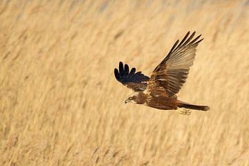 Western Marsh Harrier in flight over reeds van