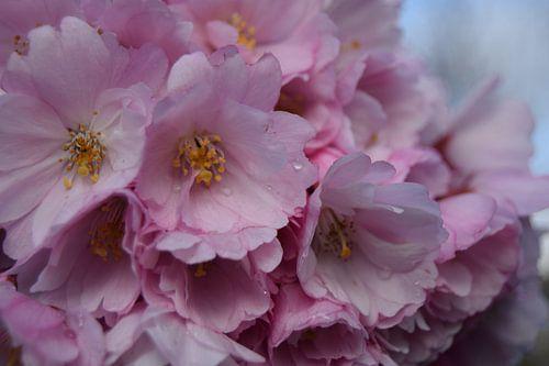 Blossoms sur
