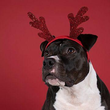 Portret van een bruine Amerikaanse Staffordshire Terrier hond met een Rudolph the rednosed reindeer  van Leoniek van der Vliet
