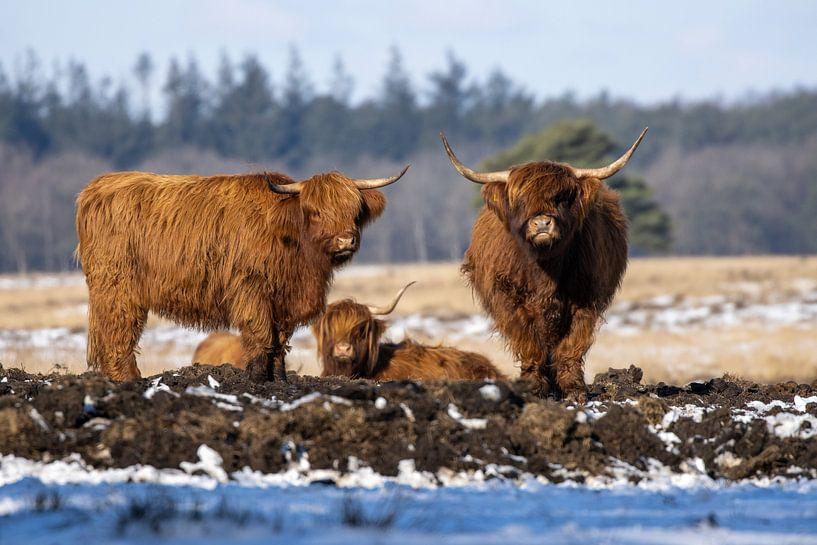 Schottische Highlander von Koos de Vries