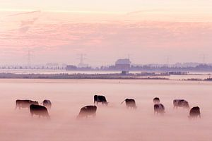 Koeien in de mist op Voorne Putten