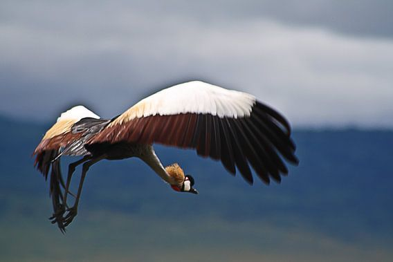 Cranebird van BL Photography